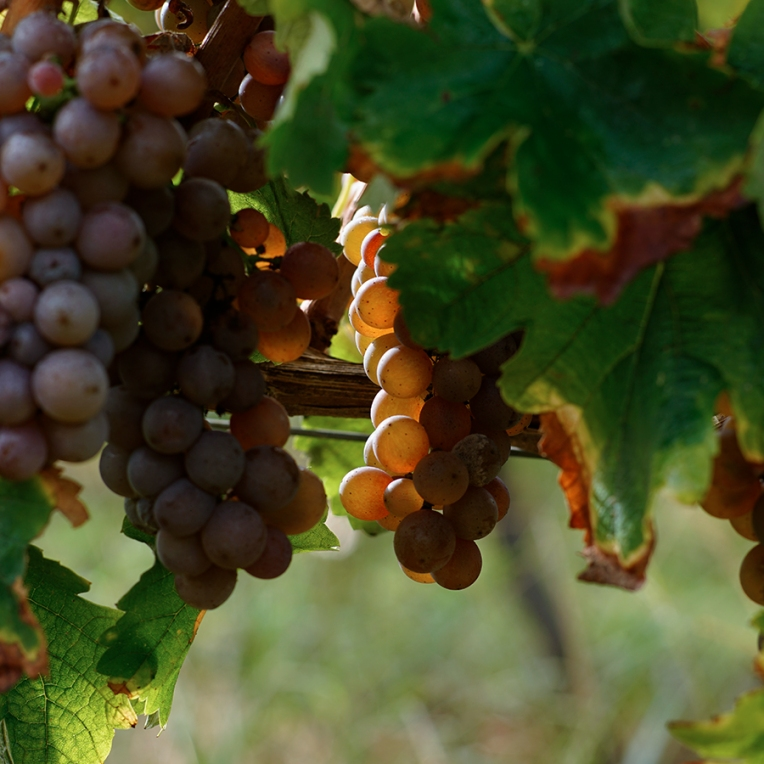 Vigne-RaisinRouge